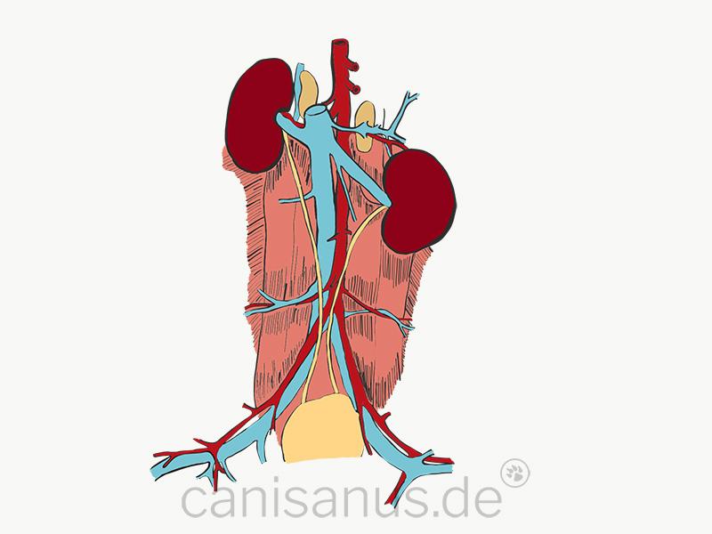 Die chronische Niereninsuffizienz (CNI)