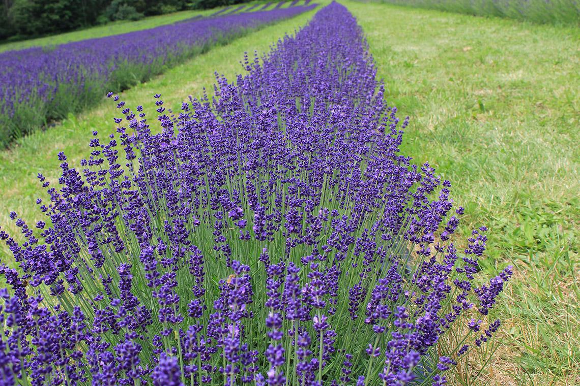 Echter Lavendel (lavandula angustifolia) – Arzneipflanze des Jahres 2020