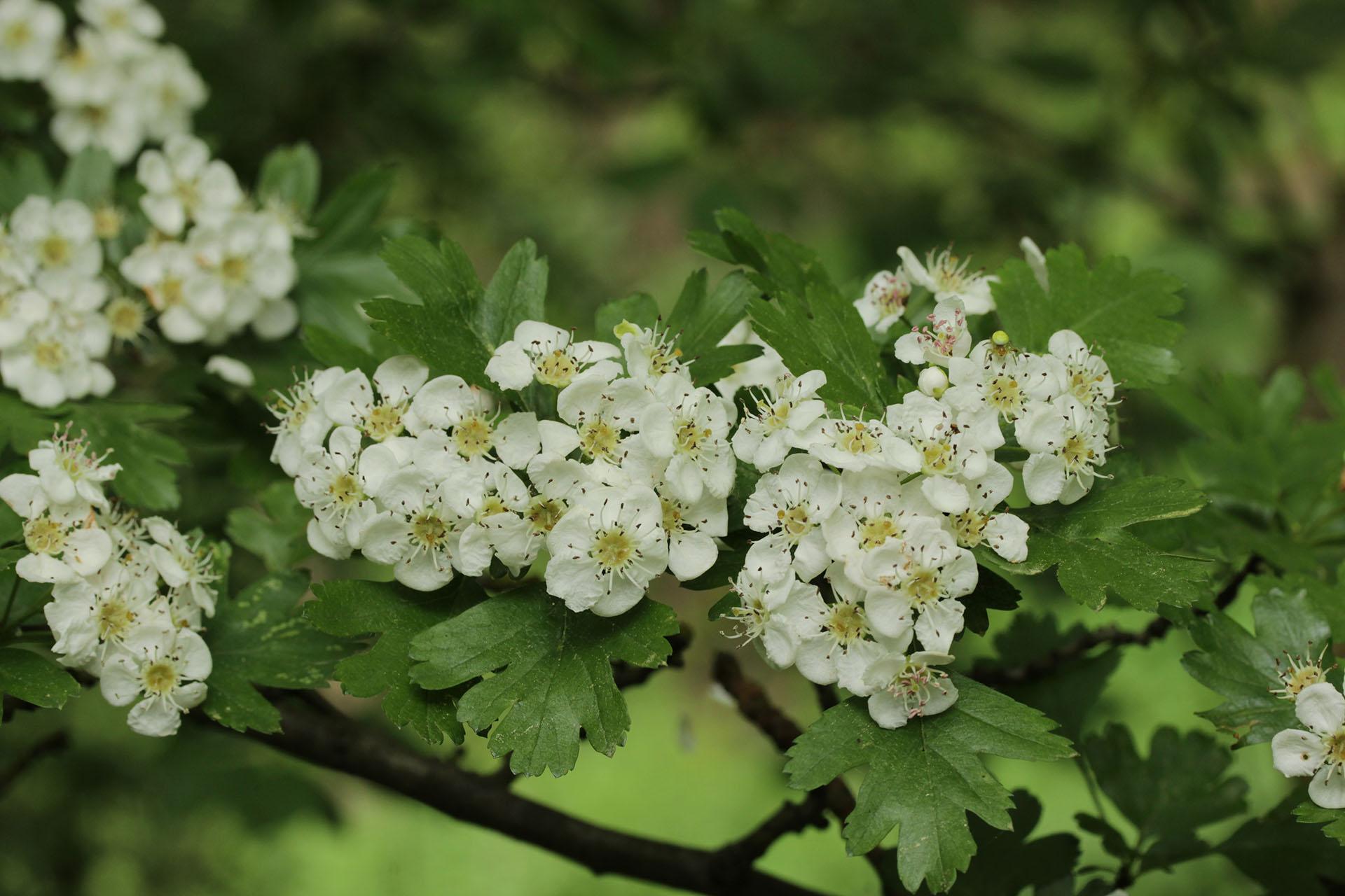 Weißdorn (Crataegus oxyacantha) – Arzneipflanze des Jahres 2019